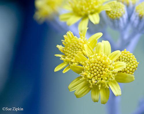 Zipkin blooming 2