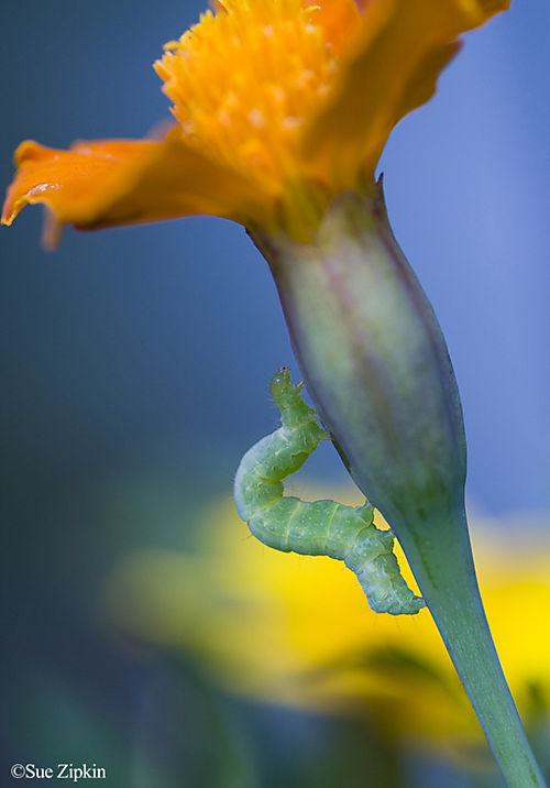 Zipkin Measuring the marigolds