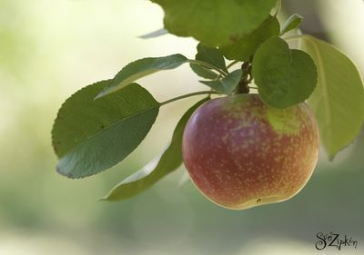 Zipkin apple picking