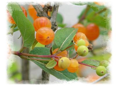 Summerberry