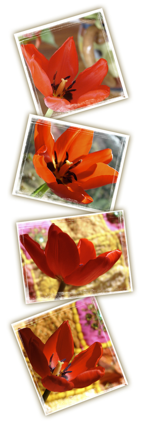 Redtulips